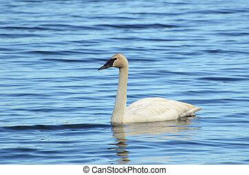 Trumpeter Swan (Cygnus buccinator) Swimming on a Lake
