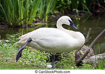 A Trumpeter Swan stands on one foot near the water.