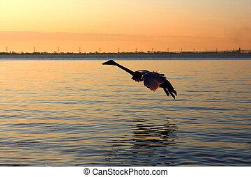 Trumpeter swan Cygnus buccinator in flight in morning sun