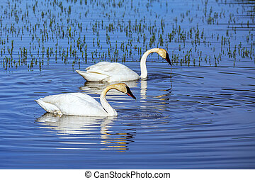 Trumpeter swans in Yellowstone National Park, Wyoming