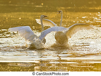 Trumpeter swans greeting each other at sunrise, cygnus buccinator