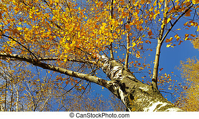 Trunk and branches with bright yellow leaves of autumn birch against blue sky