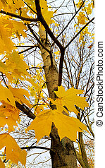 Trunk and branches with bright yellow leaves of autumn maple tree