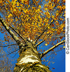 Trunk and branches with yellow leaves of autumn birch tree against the blue sky