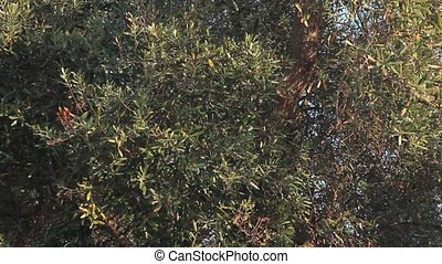 Trunk and leaves of an olive tree