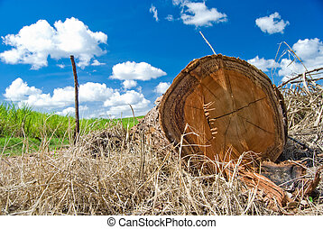 Cut tree trunk lying on the ground with sugarcane plantation on background and blue sky with clouds.