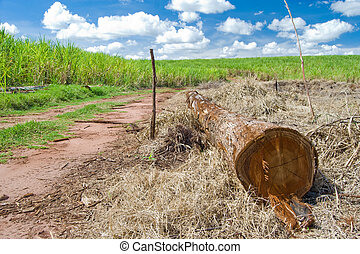 Trunk - Cut tree trunk lying on the ground with sugarcane ...