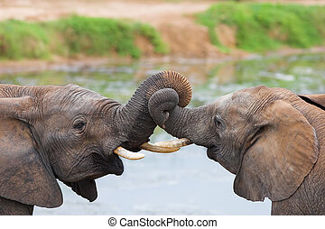 Trunk Fun - Two African elephants playing with their trunks