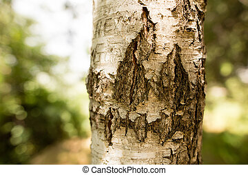Trunk of a birch on the nature