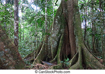 Amazon forest in the Madidi National Park, Bolivia - Trunk ...
