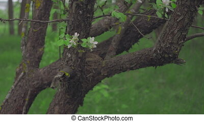 Trunk of an apple tree with blossoming flowers on it against a background of greenery