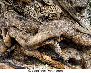 trunk of an old olive tree - the trunk of a very old olive...