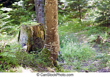 Trunk of an old tree in forest