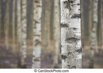 trunk of birch tree