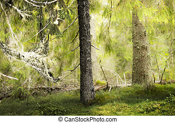 old conifer tree in wilderness