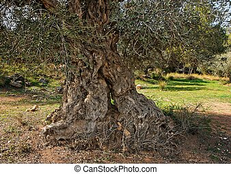 Gnarled, split and twisted trunk of olive tree outdoors
