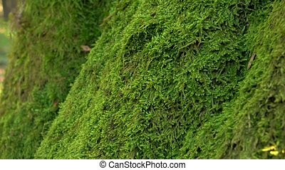 Trunk of tree overgrown with perennial green moss. Close ups...