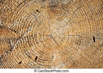 Trunk - Tree trunk cross section with annual rings