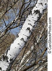 trunk white birch