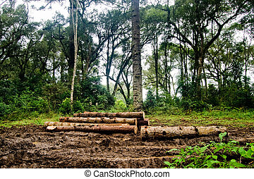 Trunks in the Mud - Brazilian pine trunks (Araucaria...