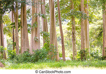 trunks of big trees
