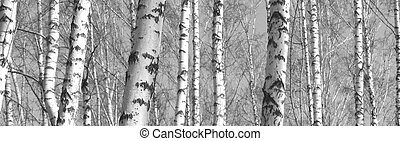 Trunks of birch trees, black and white natural background