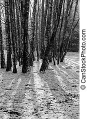 Trunks of birch trees in black and white