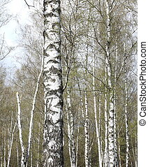 Trunks of birch trees in forest