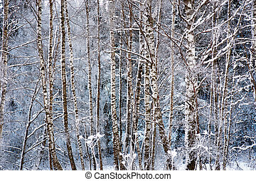 birch trees in snow - Trunks of birch trees in snow and rime...