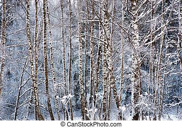 birch trees in snow