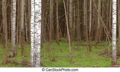 trunks of birch trees in spring day as background
