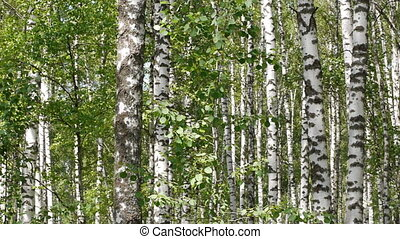 Trunks of birch trees in summertime - Panoramic shot of...