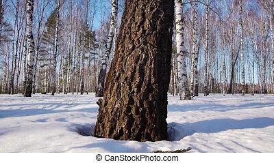 Trunks of birch trees in wintertime - Slider shot of trunks...