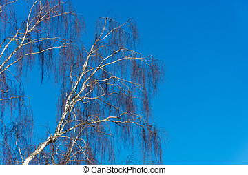 Trunks of birches without leaves against the blue sky. -...