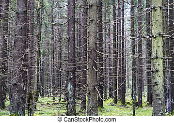 Trunks of spruce trees with dry branches in the forest .