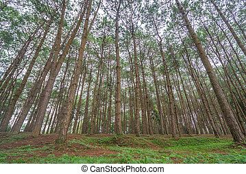 trunks of tall old trees in a pine forest