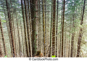 Trunks of the fir trees on a mountain slope