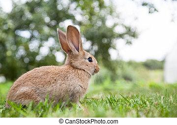 trusia królik, na trawie