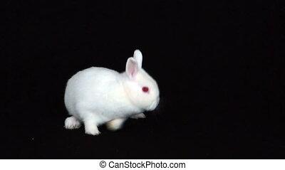trusia królik, puszysty