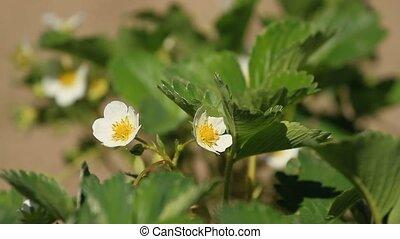 truskawka, bloomed, kwiaty
