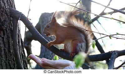 trustful squirrel takes a delicacy from a female hand