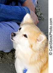 Trusting Eyes - A lovely pomeranian dog looking up with...
