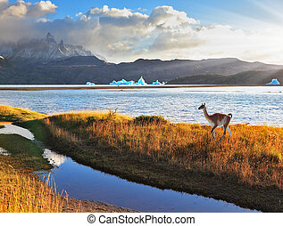 Trusting guanaco on the  Lake Grey.