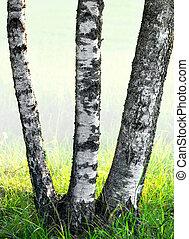 trzy, brzozowe drzewa