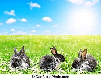 trzy, króliki