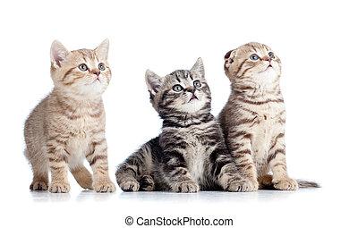 trzy, mały, koty, kociątka, przeglądnięcie do góry, odizolowany, na białym, tło