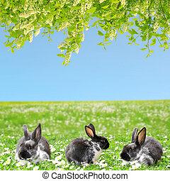 trzy, rabbits.