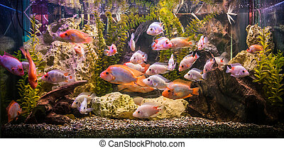 Ttropical freshwater aquarium with fishes - A green...