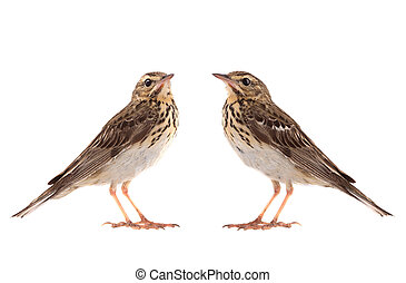 Ttwo Tree Pipit (Anthus trivialis) isolated on a white background