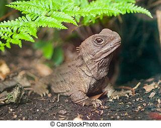 Tuatara reptile nz - Tuatara, also called living fossil, is...